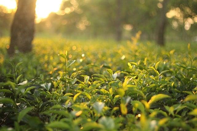 Green Tea Land
