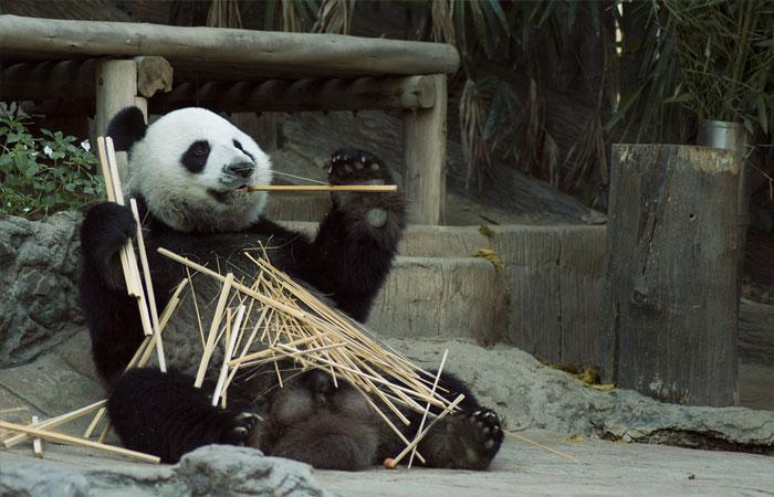 Chengdu Research Base of Giant Panda Breeding,