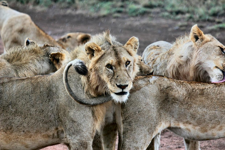 Highlights of Tanzania Safari - Tarangire - Serengeti - Ngorongoro 6