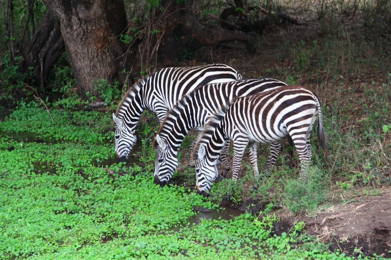 Highlights of Tanzania Safari - Tarangire - Serengeti - Ngorongoro 5