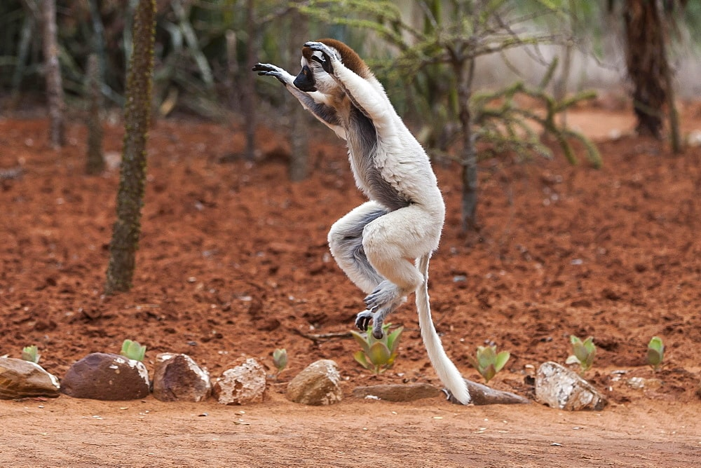 Discover the Emblematic Species of Madagascar 2