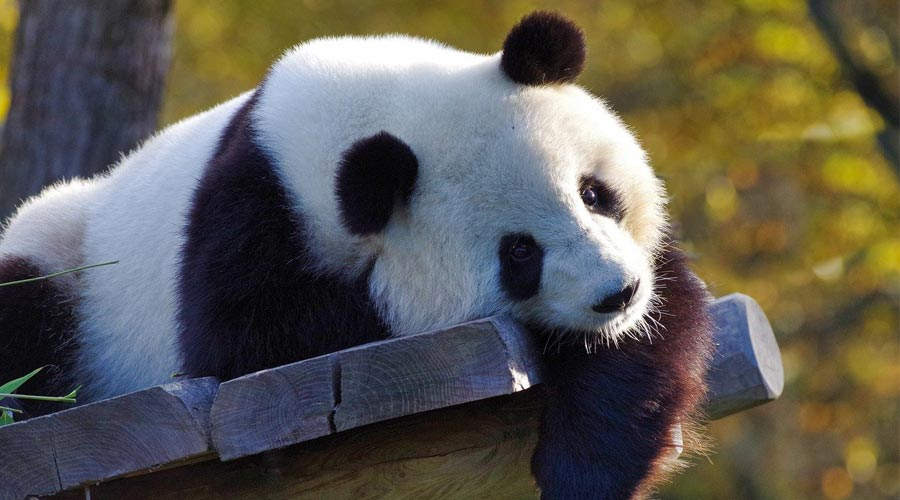 Best Places to See the Pandas in Chengdu