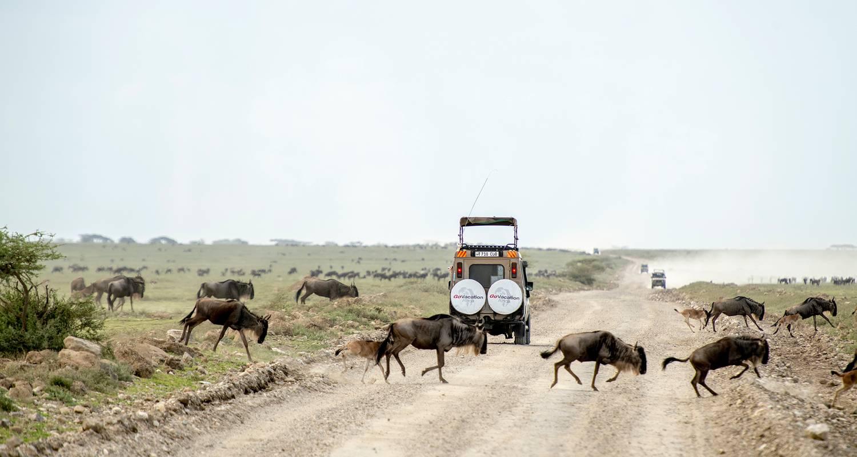 The Journey to Tanzania Wildebeests 3