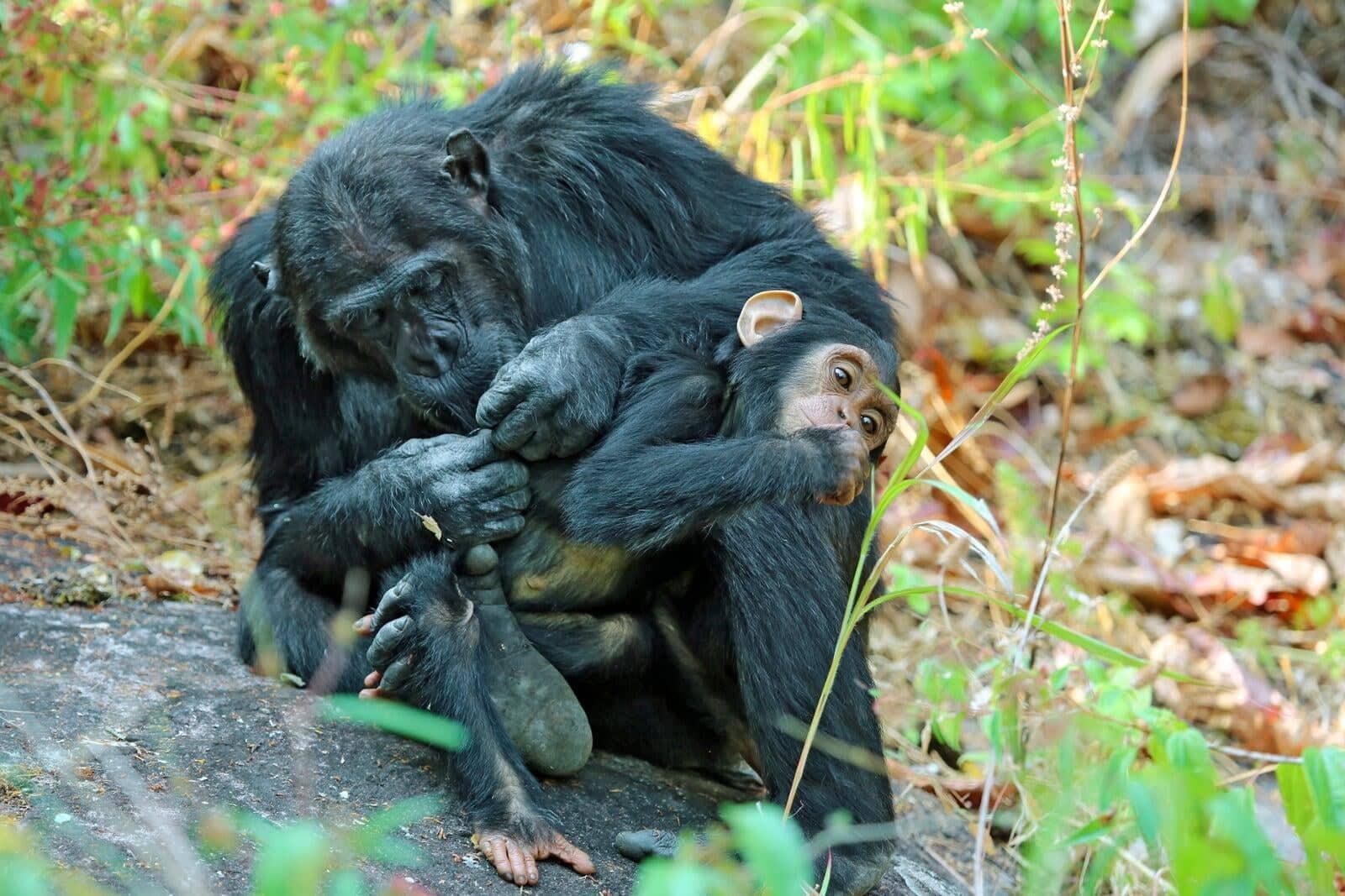 Tanzania Chimpanzee Safari Tour 1
