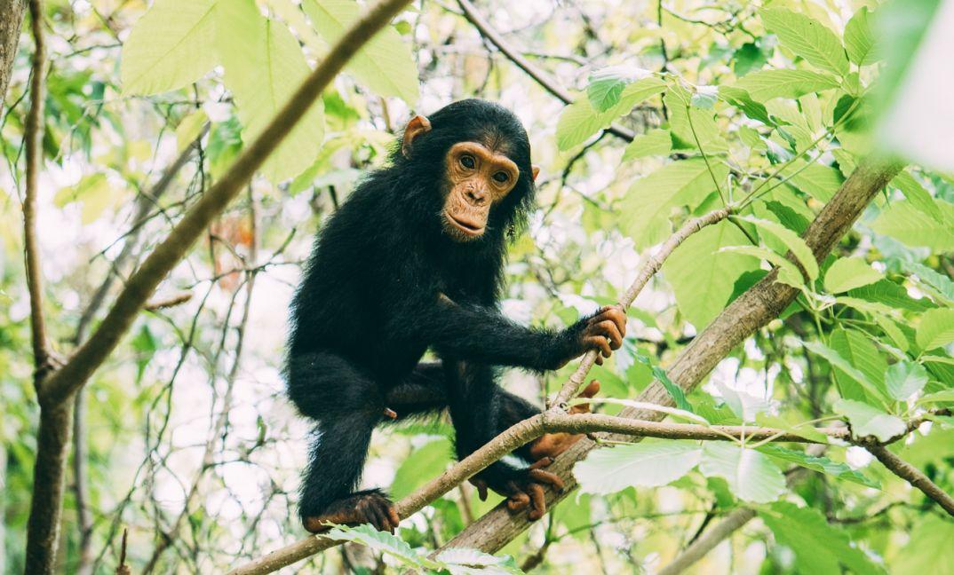 Tanzania Chimpanzee Safari Tour 3