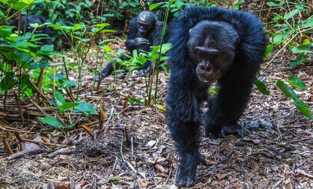 Tanzania Chimpanzee Safari Tour 4