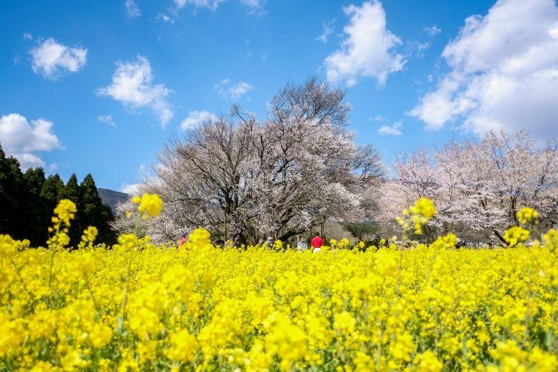 Cherry Blossoms at Fukuoka and Kumamoto 1