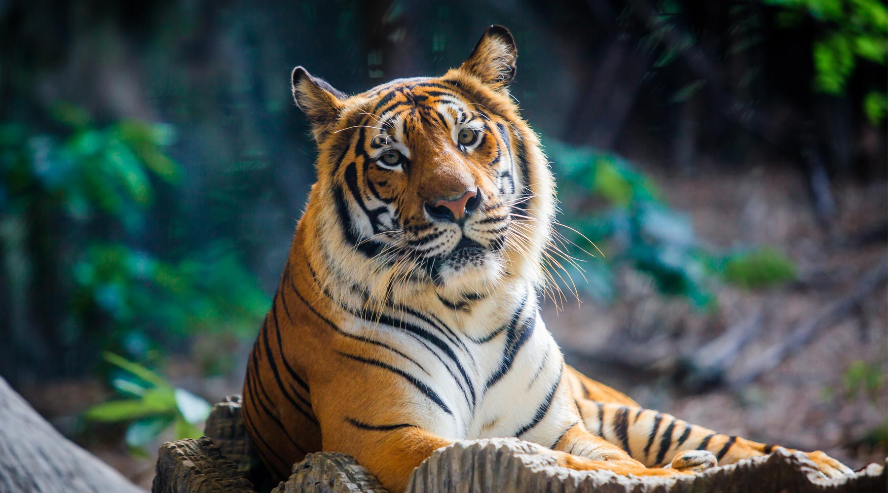 Tiger Kingdom Phuket – A Beautiful Zoo Just For Tigers