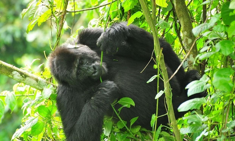 7-Day Gorilla, Chimpanzee and Wildlife Safari Tour 7
