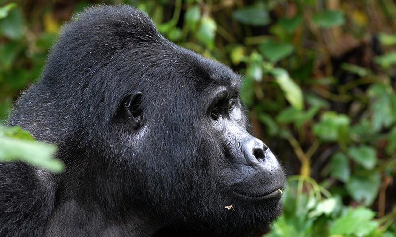 7-Day Gorilla, Chimpanzee and Wildlife Safari Tour 6