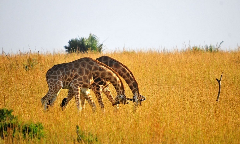 15-Day Spectacular Uganda Primates and Wildlife Safari 5