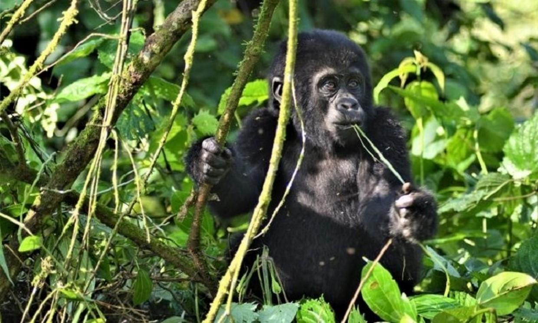 9-Day Gorillas, Chimpanzee and Wildlife Trip 4