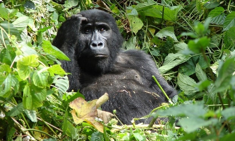 7-Day Gorilla, Chimpanzee and Wildlife Safari Tour 2