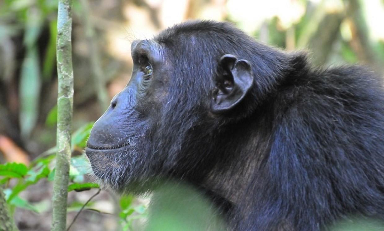7-Day Gorilla, Chimpanzee and Wildlife Safari Tour 3