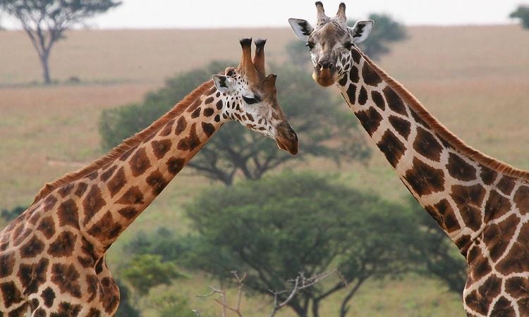 6-Day Amazing Wildlife & Gorilla Tracking Safari 1