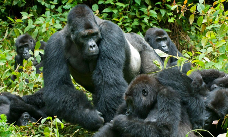 Gorilla Trekking 8