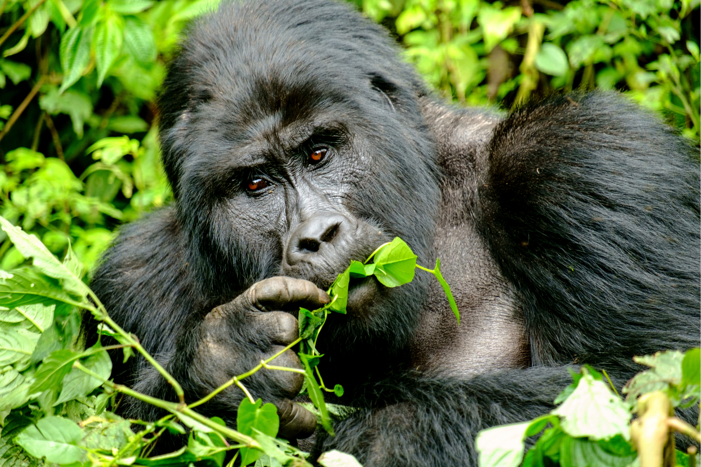 Private Safari to Bwindi Forest Gorilla Tracking in Uganda with Transportation from Kampala 1