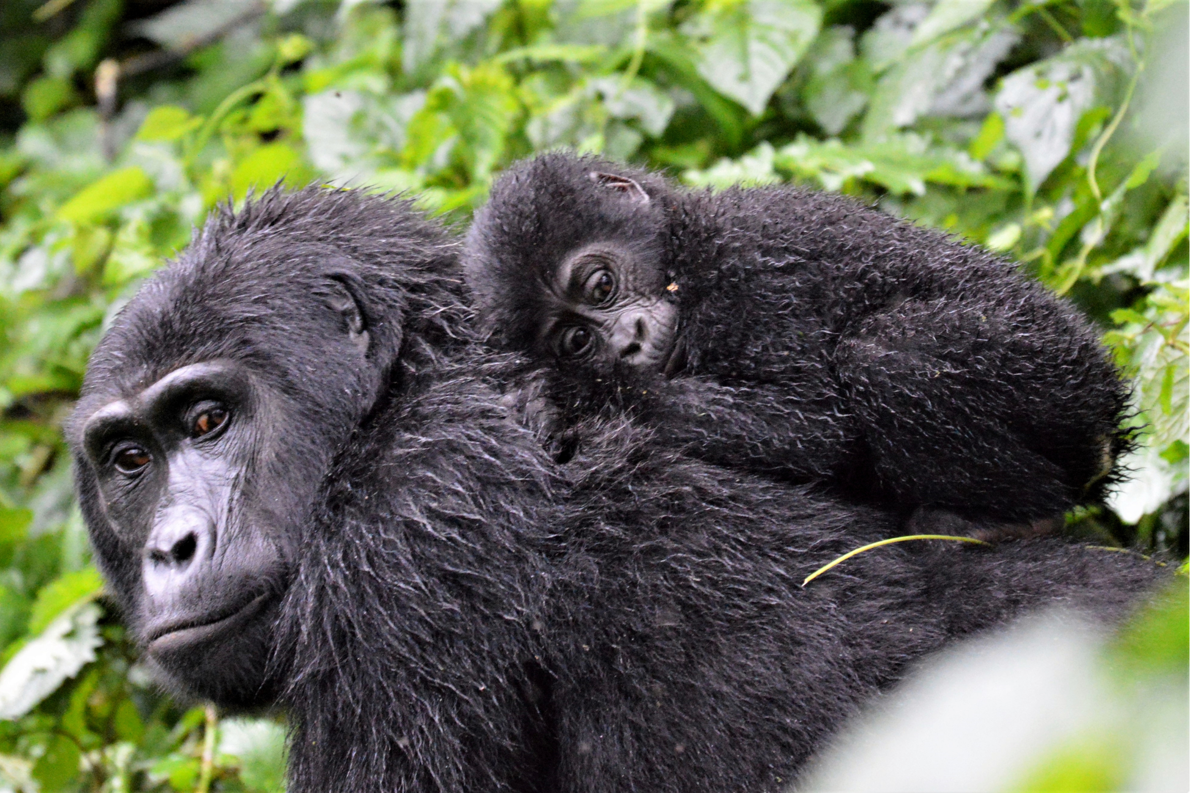 Private Safari to Bwindi Forest Gorilla Tracking in Uganda with Transportation from Kampala 9