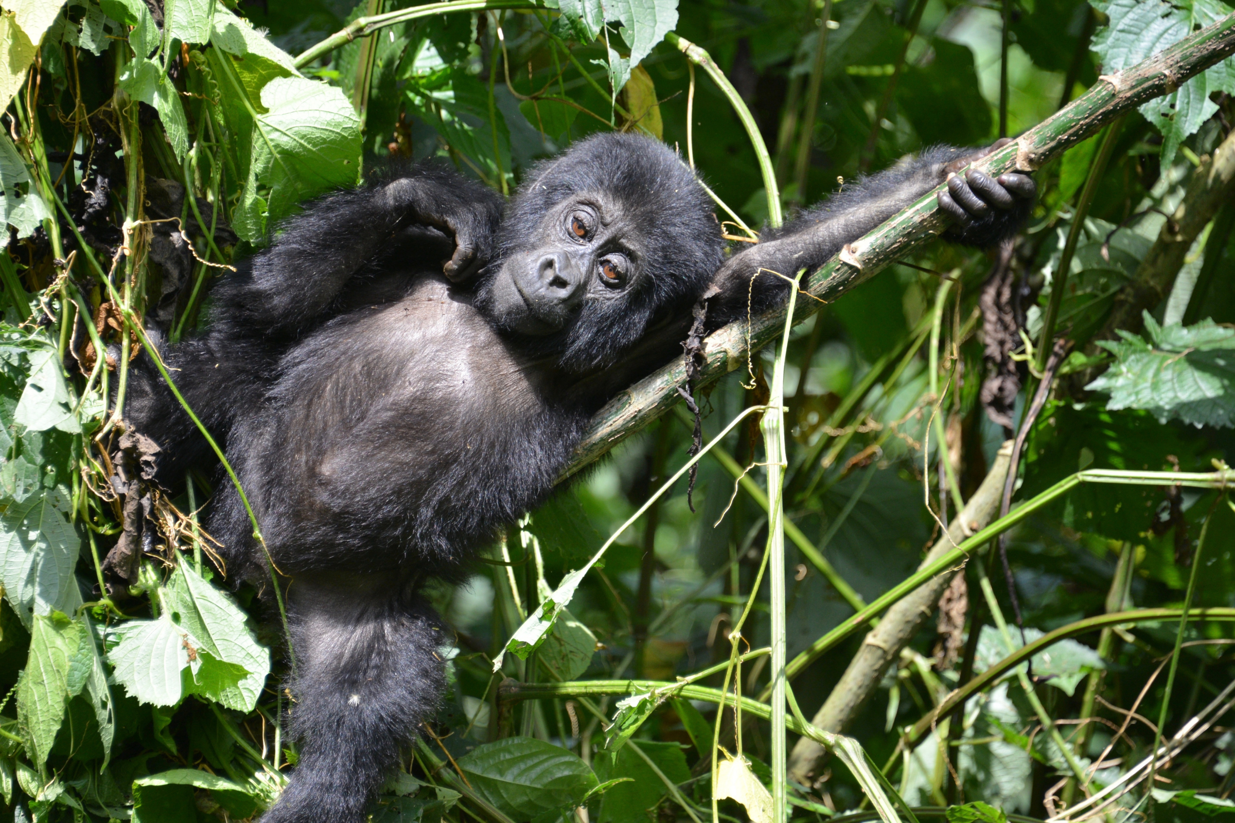 Private Safari to Bwindi Forest Gorilla Tracking in Uganda with Transportation from Kampala 6