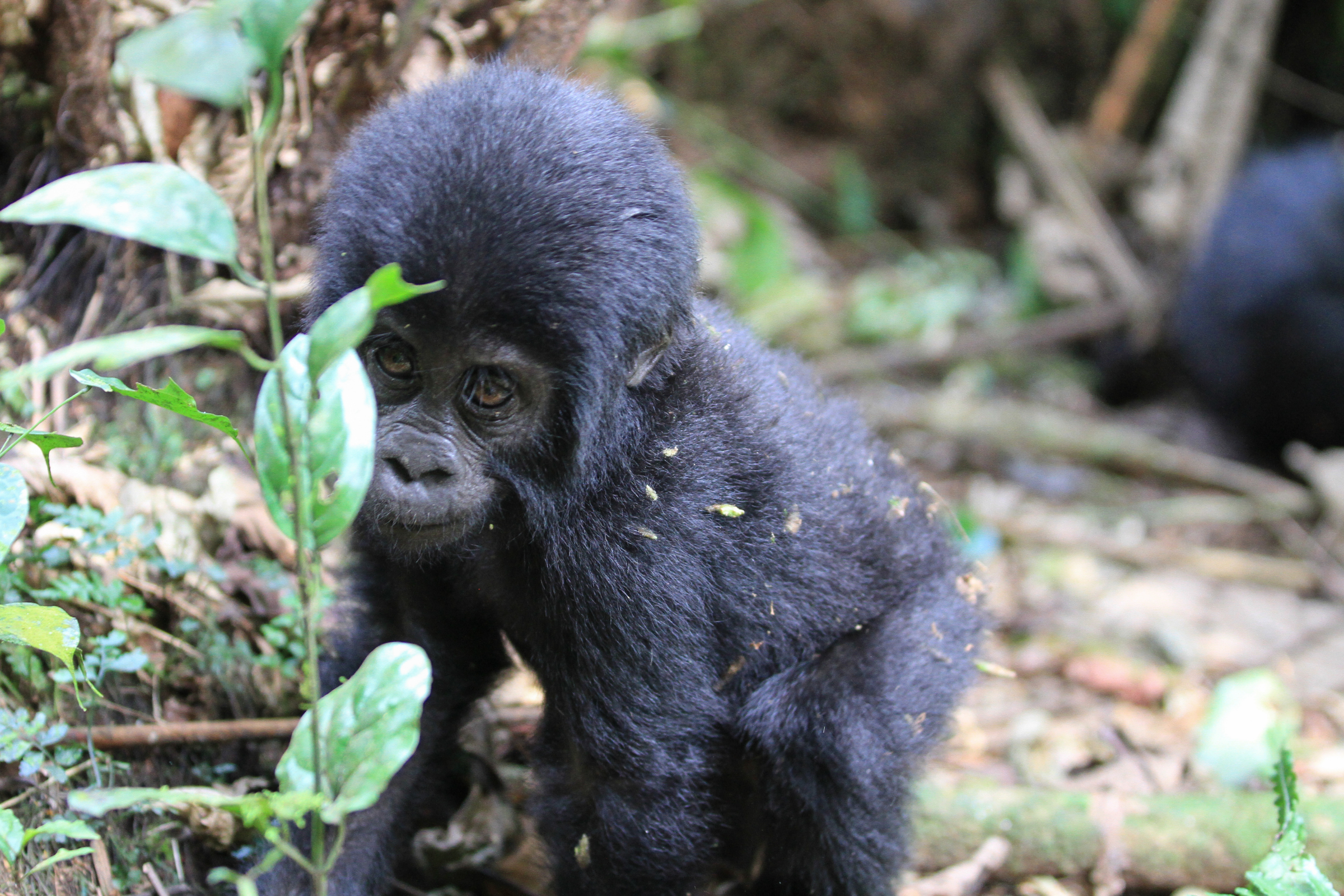 Private Safari to Bwindi Forest Gorilla Tracking in Uganda with Transportation from Kampala 4