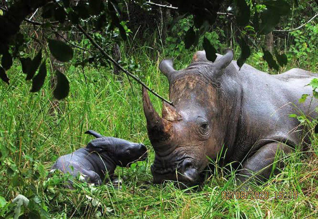 Rhino Tracking Tour in Ziwa Rhino Sanctuary 4