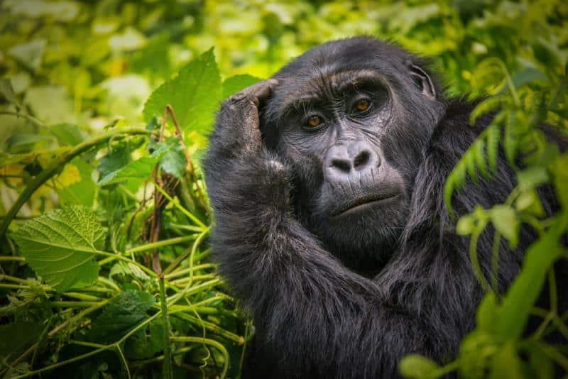 3 Days Gorilla Trekking Budget Safari 1