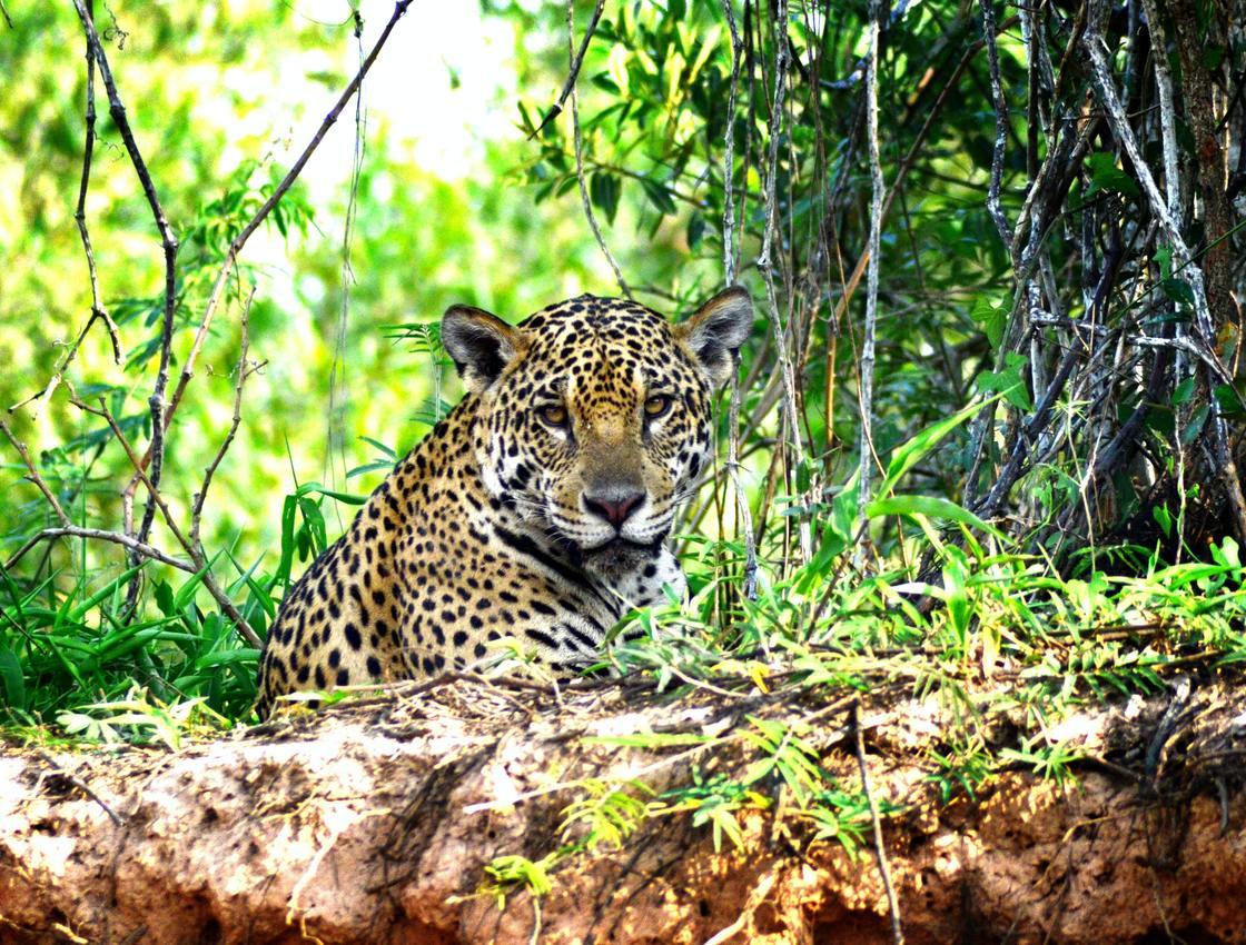 Brazil Northern Pantanal and Jaguar Spotting 1