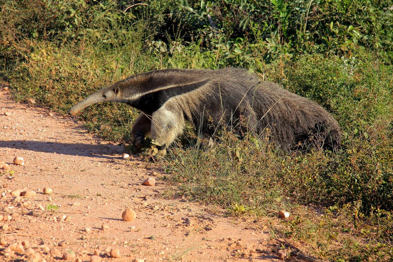 Brazil Northern Pantanal and Jaguar Spotting 3