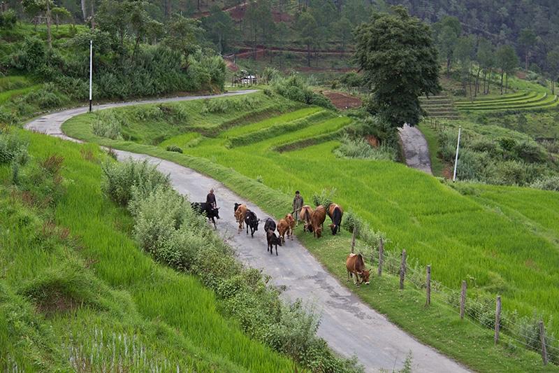 Cow boy in Nobgang village Punakha valley