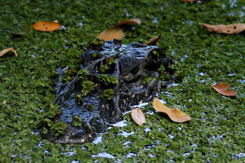 Amazon black caiman