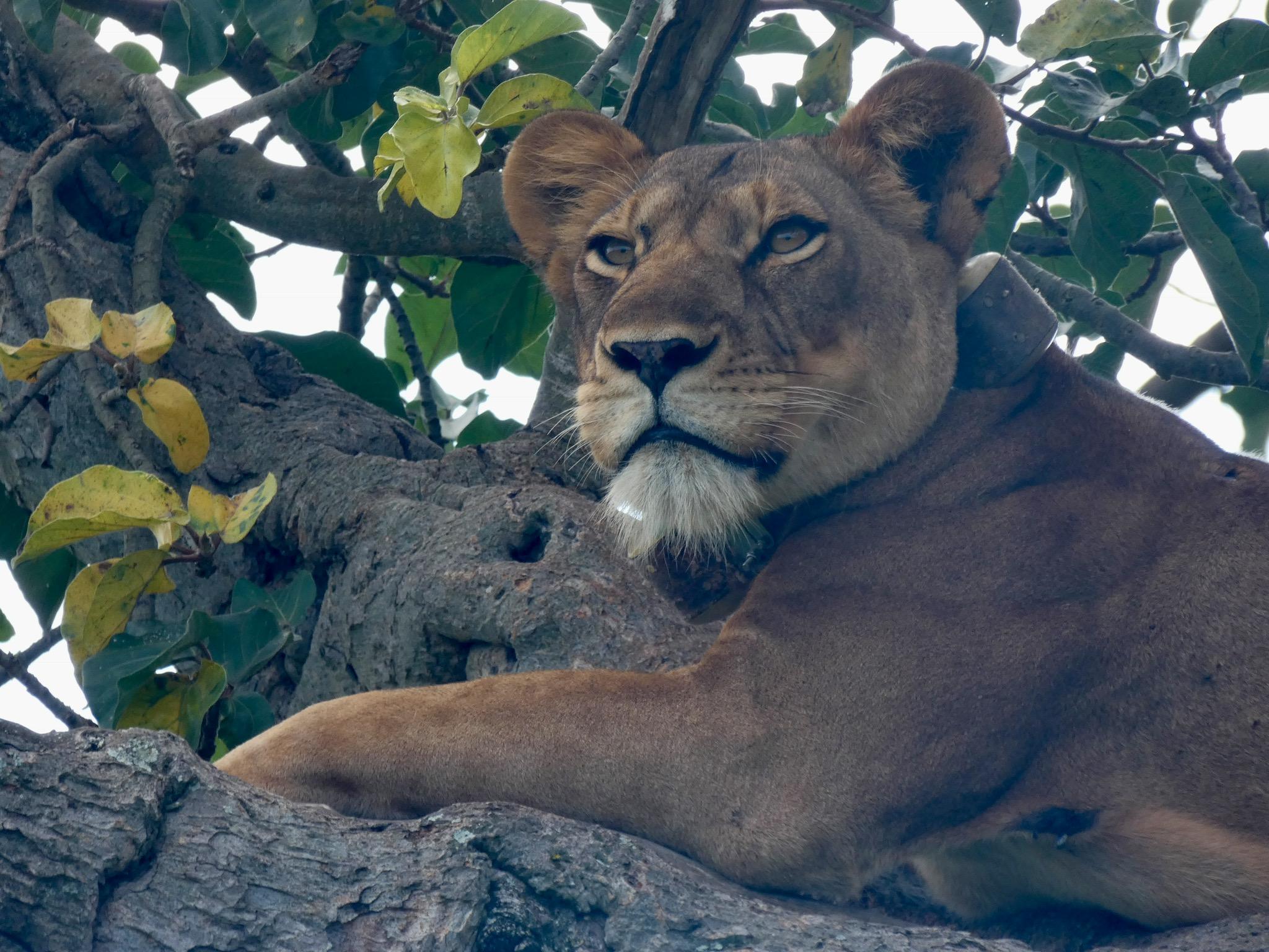 7 Days Uganda Safari Tour - Wildlife & Primates Adventure 1
