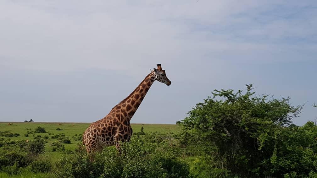 10-Day Wildlife Big 5, Murchison Falls, and Gorilla Trekking Safaris in Uganda 6
