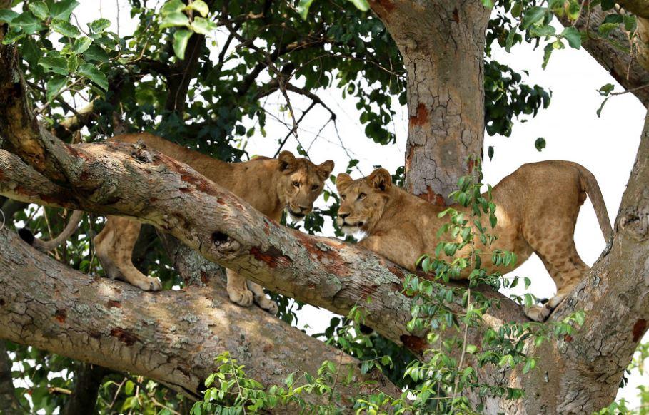 9-Day Safari Wildlife Tour Including Chimp, Gorilla Trekking 5