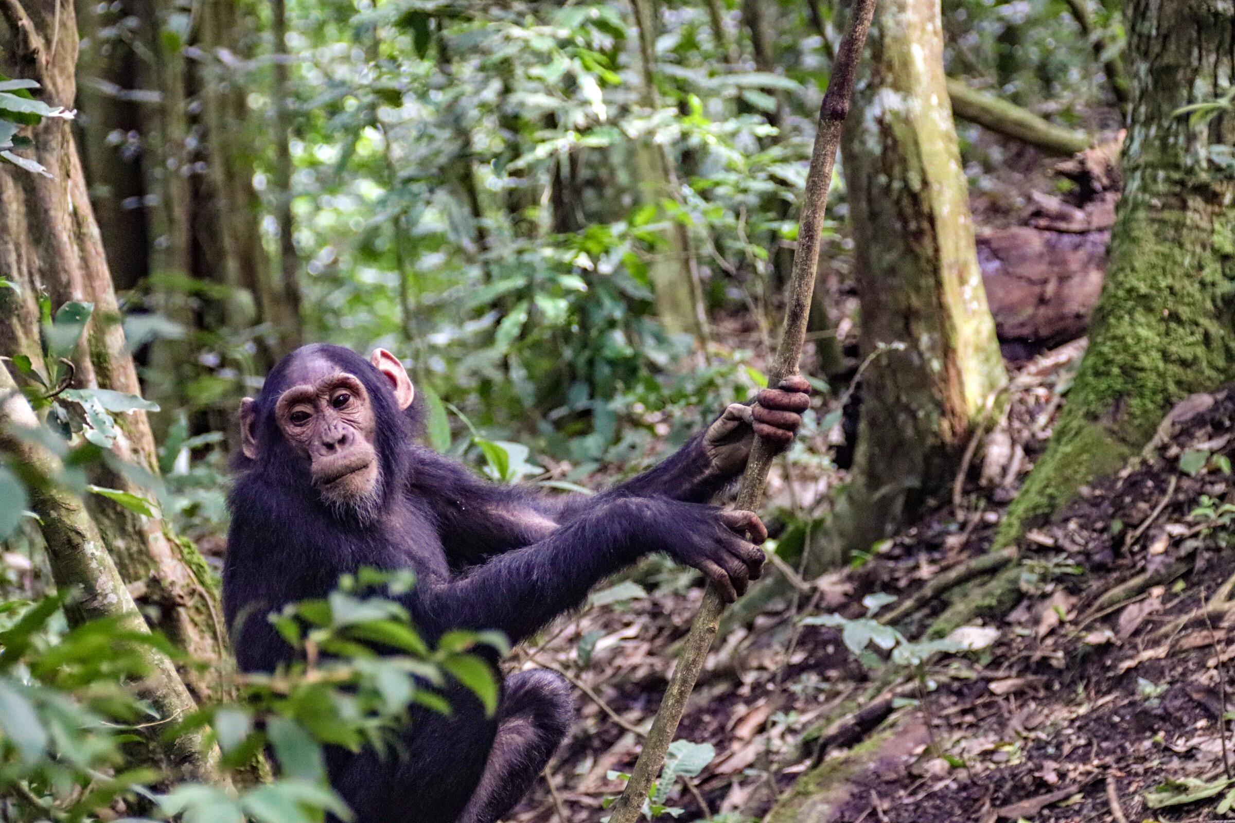 9-Day Safari Wildlife Tour Including Chimp, Gorilla Trekking 6