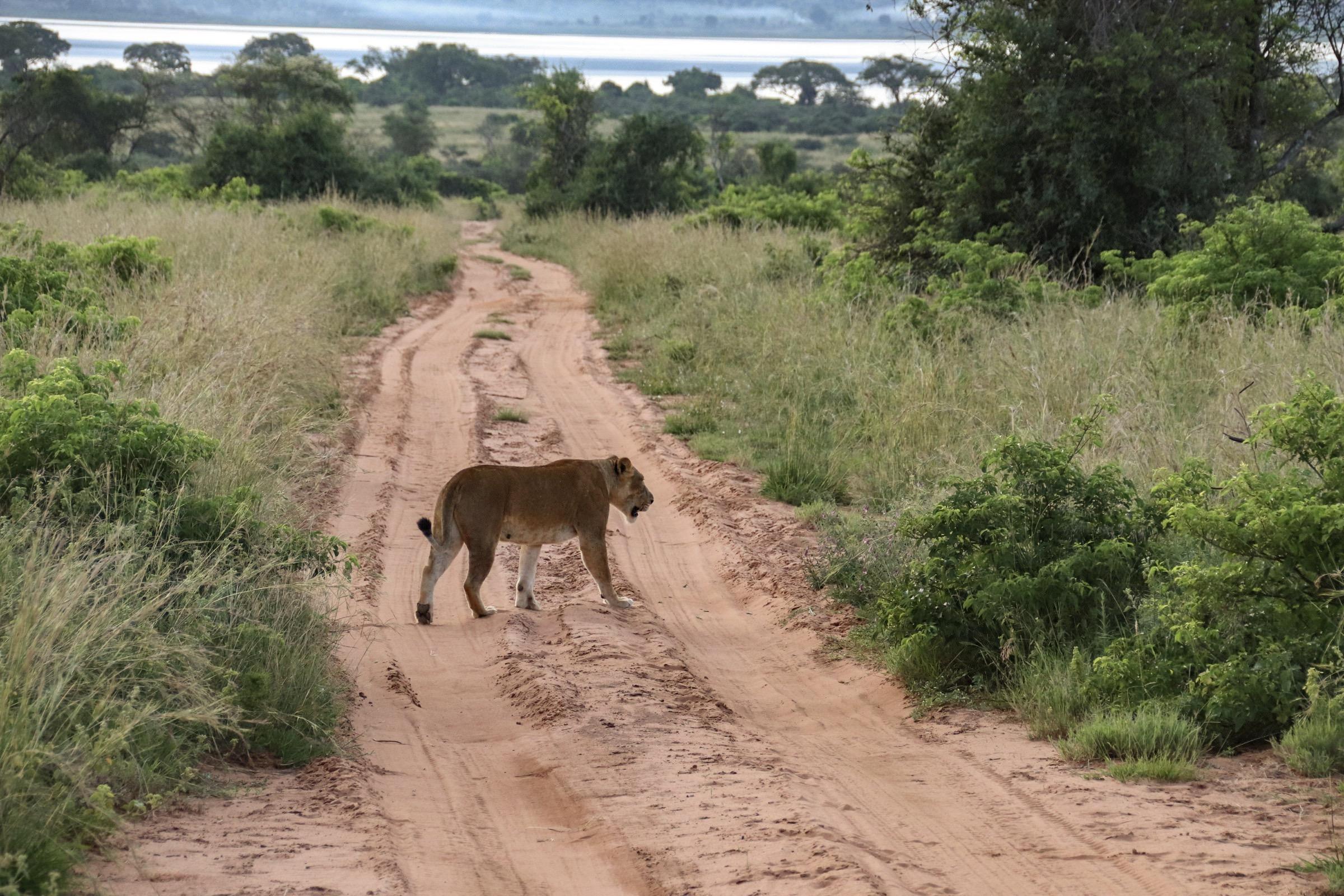 10-Day Wildlife Big 5, Murchison Falls, and Gorilla Trekking Safaris in Uganda 1
